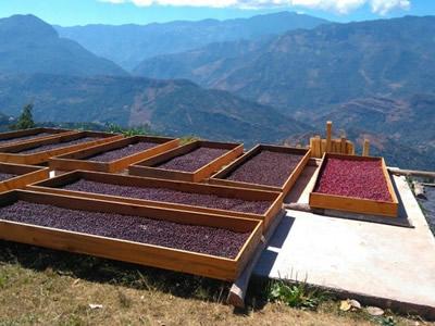 グァテマラ・ウィツマティグ農園パカマラ・ナチュラル